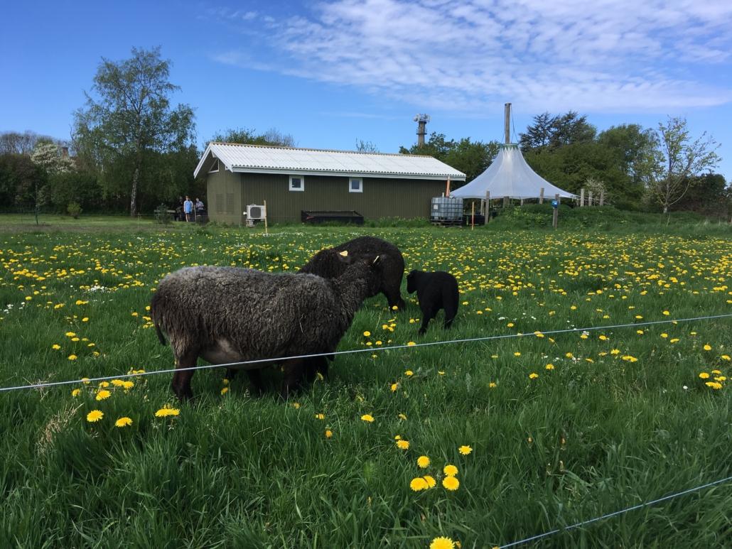 endelave får