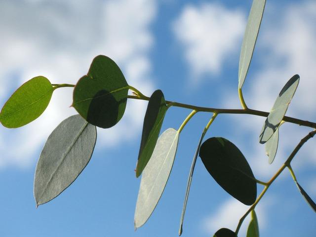 Eukalyptusolie
